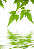 El verde deja el clematis reflejado en agua Imagen de archivo libre de regalías