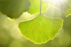 El verde deja el Ginkgo Imagenes de archivo