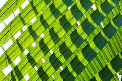 El verde deja el fondo de los fruticans del Nypa, conocido comúnmente como la palma de nipa foto de archivo