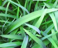 El verde deja el fondo papel pintado de la flor del daylily de las hojas fotografía de archivo