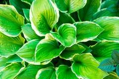 El verde deja el hosta fotografiado en el jardín fotografía de archivo libre de regalías