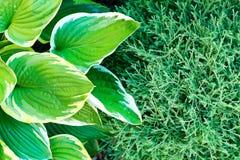 El verde deja el hosta y los abetos del árbol de hoja perenne wallpaper en el jardín fotos de archivo libres de regalías
