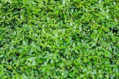 El verde deja la pared Fotos de archivo libres de regalías