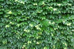 El verde deja la pared Foto de archivo libre de regalías