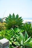 El verde del agavo deja el primer, foco bajo Fotografía de archivo