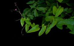 El verde en forma de corazón deja la vid con la flor y el zarcillo rosados minúsculos Imagen de archivo libre de regalías