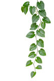 El verde en forma de corazón deja la vid de la selva aislada en el backgrou blanco fotografía de archivo libre de regalías
