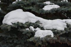 El verde es árbol conífero Imágenes de archivo libres de regalías