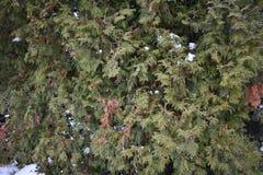 El verde es árbol conífero Fotos de archivo libres de regalías