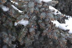 El verde es árbol conífero Fotografía de archivo libre de regalías
