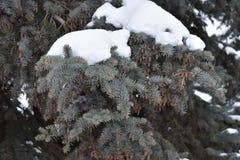 El verde es árbol conífero Imagen de archivo