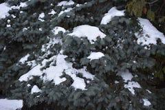 El verde es árbol conífero Foto de archivo libre de regalías