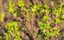 El verde fresco deja el florecimiento en el arbusto color de rosa salvaje Imagen de archivo libre de regalías