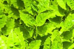 El verde fresco hojea fondo Foto de archivo libre de regalías