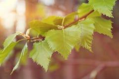 El verde hermoso de la primera primavera deja el abedul en un primer de la rama, con la falta de definición y el bokeh hermosos Foto de archivo libre de regalías