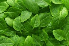 El verde hermoso deja el fondo Hojea la textura, textura de la planta verde foto de archivo