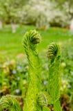 El verde joven brota helechos en yarda foto de archivo libre de regalías