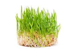 El verde joven del trigo brota en un fondo blanco Imágenes de archivo libres de regalías