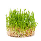 El verde joven del trigo brota en un fondo blanco Foto de archivo