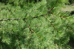 El verde joven se va en las ramas de larix decidua en primavera Imagen de archivo libre de regalías