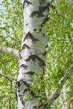 El verde joven se va en ramas del abedul en el sol al aire libre en macro macra del verano de la primavera en un fondo del tronco Fotos de archivo libres de regalías
