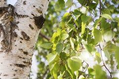 El verde jugoso joven se va en las ramas de un abedul en el sol al aire libre en macro del primer del verano de la primavera en e Fotografía de archivo libre de regalías