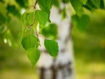 El verde jugoso joven se va en las ramas de un abedul en el sol o Foto de archivo