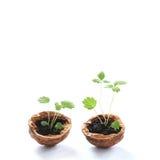 El verde mínimo del diseño brota en cáscaras de una nuez hojas crecientes de las plantas, del modelo y de la textura de la visión imagen de archivo