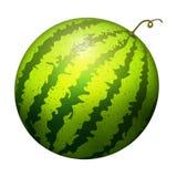 El verde natural de la sandía del ejemplo jugoso realista rayado maduro del vector aisló el melón maduro libre illustration
