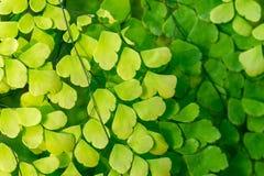 El verde natural deja el fondo Imagenes de archivo