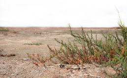 El verde pica el crecimiento en el desierto - plantas en la arena Imagen de archivo libre de regalías