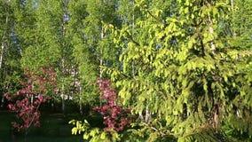El verde ramifica primavera de la manera de la trayectoria del árbol de abeto Pista de la cámara hacia fuera Árbol y agujas imper almacen de video