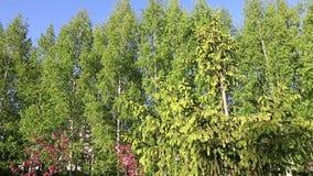 El verde ramifica primavera de la manera de la trayectoria del árbol de abeto Pista de la cámara hacia fuera adentro Árbol y aguj almacen de metraje de vídeo