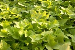 El verde sale de la planta Imagen de archivo libre de regalías