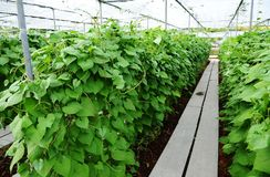 El verde sale de la planta de la dioscórea que crece en el jardín Foto de archivo