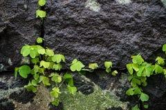 El verde sale de la planta que crece en hueco grande de la pared de la roca en japonés enorme Imagen de archivo