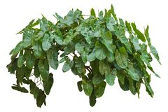 El verde sale de la planta, vid aislada en el fondo blanco truncamiento fotos de archivo libres de regalías