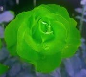 El verde se levantó Imágenes de archivo libres de regalías