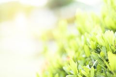 El verde se va del arbusto en el sol Foto de archivo