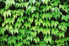 El verde se va en el bosque en Tailandia como fondo fotografía de archivo libre de regalías