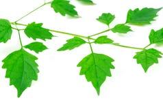 El verde se va en el fondo blanco, hojas de los jóvenes de la pizca de la ramita del abedul Foto de archivo libre de regalías
