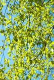 El verde se va en un abedul en la primavera Imagen de archivo