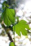 El verde se va, las hojas en el sol, planta en el jardín Fotografía de archivo libre de regalías