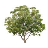El verde tropical deja el árbol aislado en el fondo blanco Imágenes de archivo libres de regalías