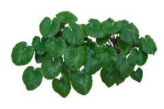 El verde tropical deja el follaje, arbustos de la planta de la selva aislados en el fondo blanco con la trayectoria de recortes i foto de archivo