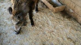 El verraco adulto selecciona la comida con un hocico en el piso de madera en un establo en la granja metrajes