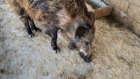 El verraco adulto selecciona la comida con un hocico en el piso de madera en un establo en la granja almacen de video