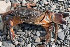 El verrucosa de Eriphia del cangrejo de piedra consiguió su nombre debido al color de su caparazón Ocurre generalmente en las pro imágenes de archivo libres de regalías