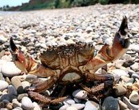 El verrucosa de Eriphia del cangrejo de piedra consiguió su nombre debido al color de su caparazón Ocurre generalmente en las pro fotografía de archivo libre de regalías