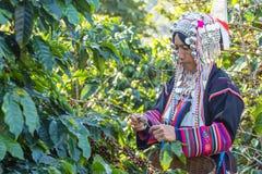 El vestido tribal del trabajador cosechaba el grano de café maduro Imagen de archivo libre de regalías